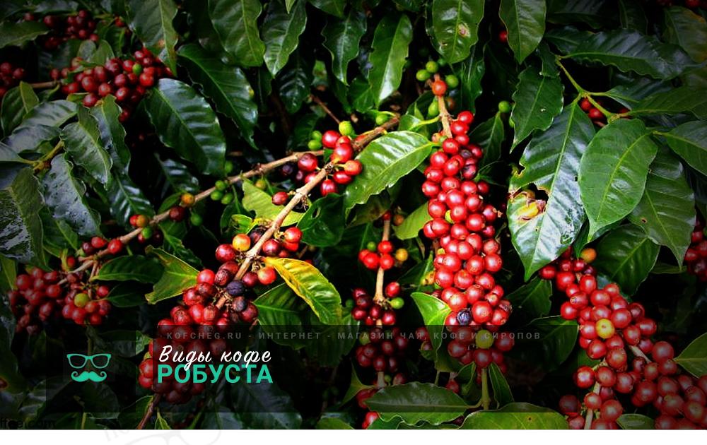 Виды кофе: Робуста